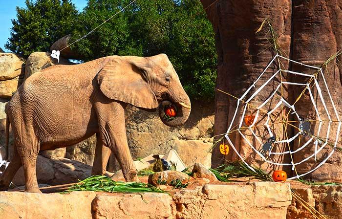 Halloween-2017-en-BIOPARC-Valencia---elefante
