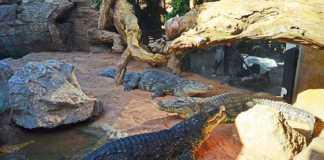 Bioparc cocodrilos del Nilo