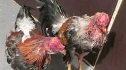 gallos-de-pelea1