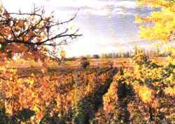 campo de uvas