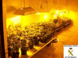 plantaciòn-marihuana